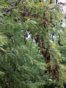 Pohon dan buah Asam Jawa