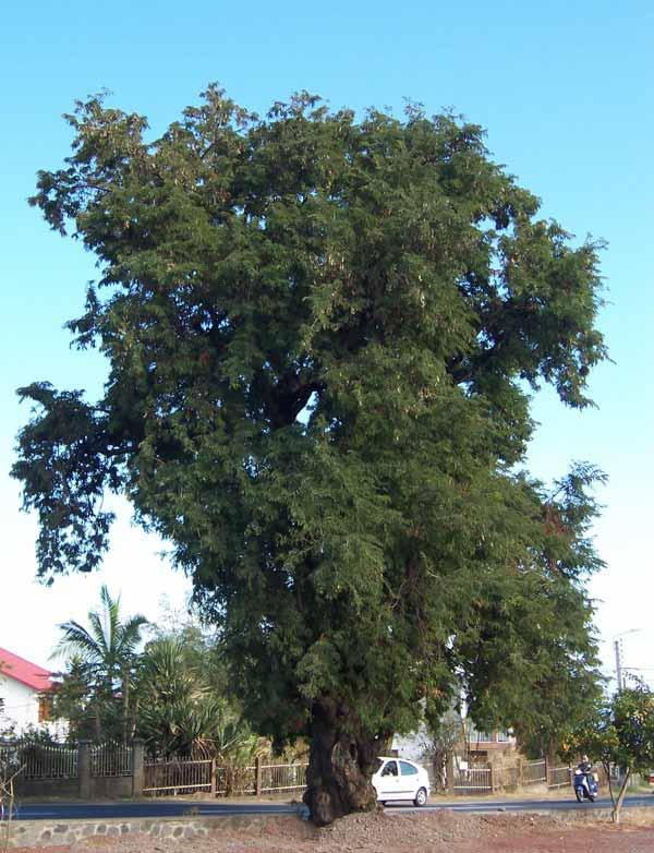 Pohon-asam-jawa