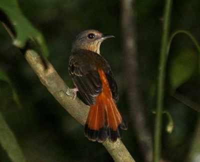 Burung kucica ekor-kuning atau cempala kuneng betina