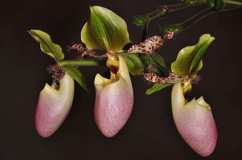 Anggrek selop Paphiopedilum glaucophyllum