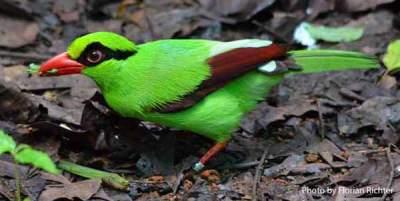 Javan-Green-Magpie-Cissa-thalassina