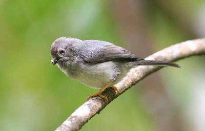 Burung Ceceret Jawa