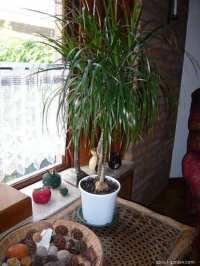 Dragon Tree (Dracaena marginata)