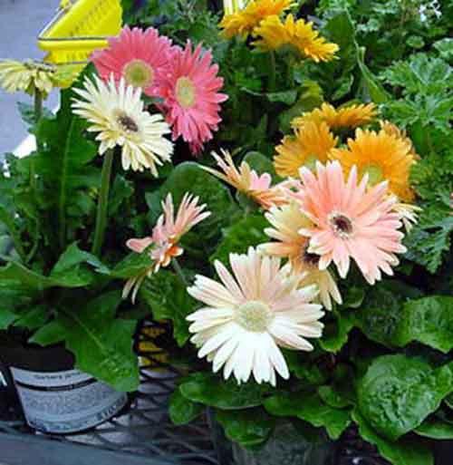 Gerber daisy (Gerbera jamesonii)