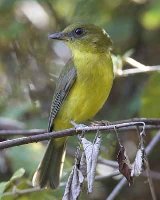 Burung Kancilan Kalimantan