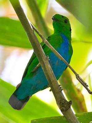 Madi-hijau Perut-biru
