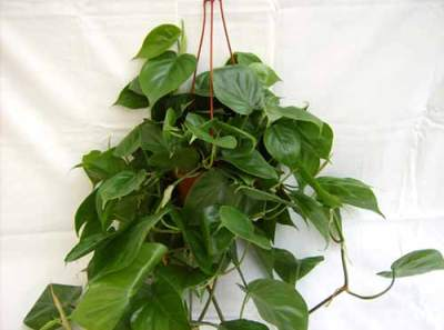 Philodendron oxycardium