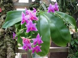 Anggrek Phalaenopsis violacea