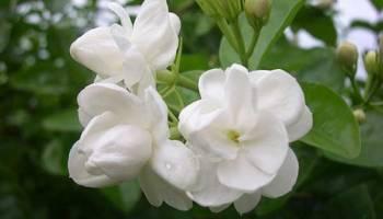 Kumpulan Gambar Bunga Melati Dan Jenisnya Alamendah S Blog