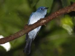Burung Seriwang Sangihe