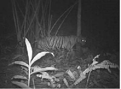 Foto yang diduga harimau jawa