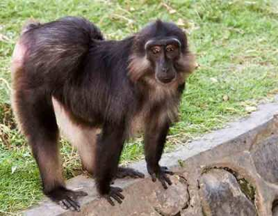 Monyet Jambul