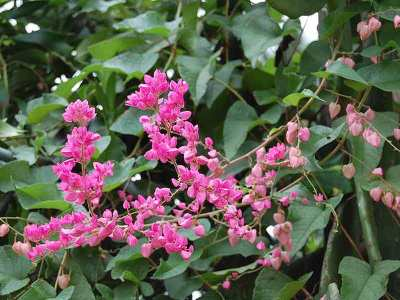 Bunga air mata pengantin (Antigonon)