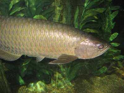 Ikan Arowana Irian