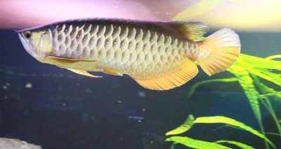 Ikan siluk atau Arwana