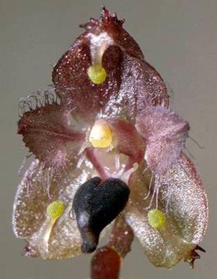 Bulbophyllum erinaceum