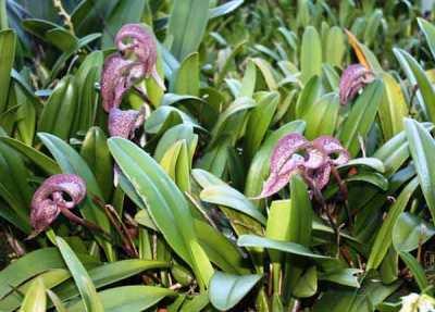 Anggrek Bulbophyllum fritillariiflorum
