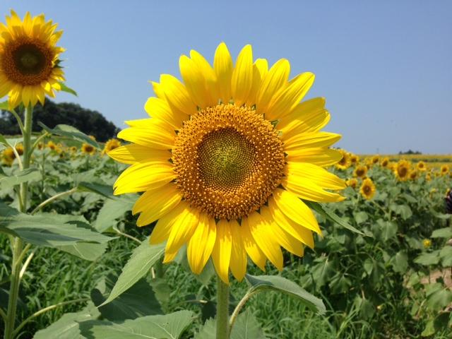 Bunga Matahari Alamendah 39 S Blog