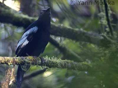 Gambar burung Ciung-mungkal Sumatera