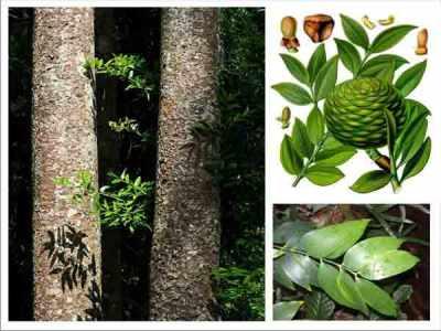 Batang, daun, bunga, dan buah damar (Agathis dammara)