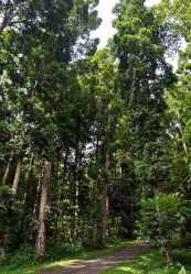 Pohon Damar (Agathis dammara)