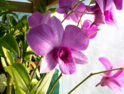 Dendrobium bigibbum (Anggrek Larat)