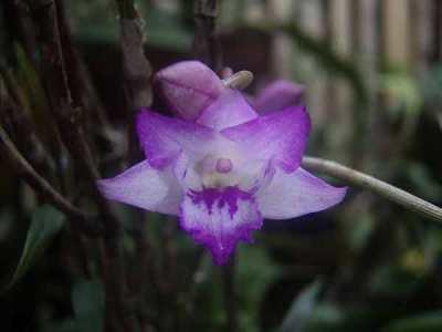 Dendrobium lancifolium (The Sword-Like Leafed Dendrobium)
