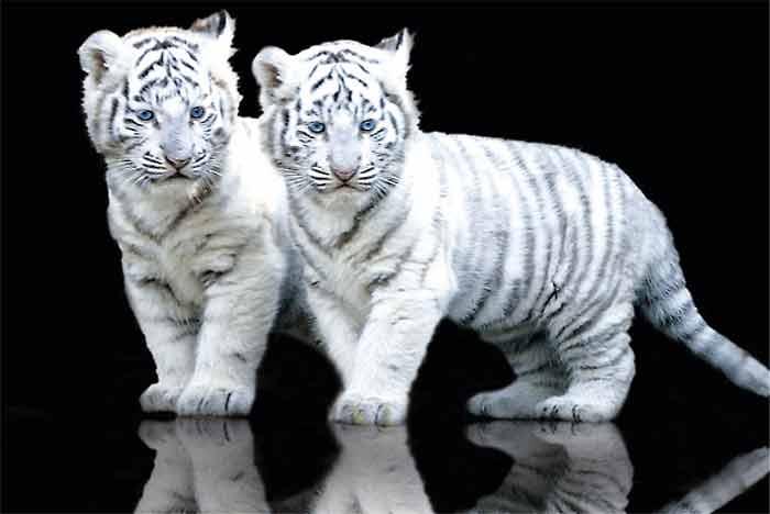 Foto anak harimau putih 59