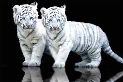 Dua anak harimau putih (harimau albino)
