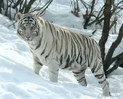 Harimau putih atau harimau albino
