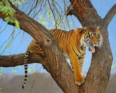 Harimau Sumatera Naik di Atas Pohon