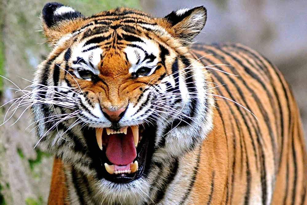 Hasil gambar untuk gambar harimau mengaum