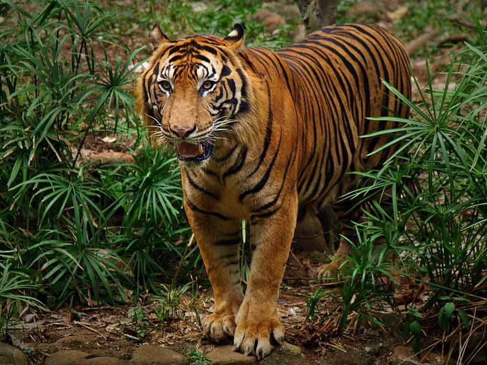 harimau mengaum 3d