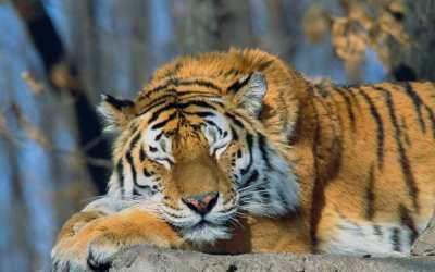 Harimau Tidur Mata Terpejam