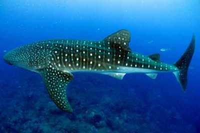 Hiu paus atau Whale shark