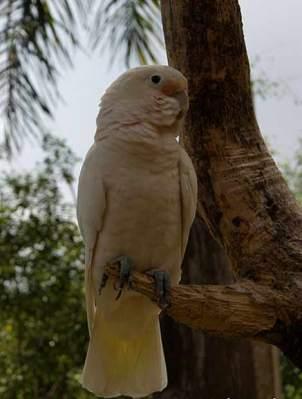 Kakatua Tanimbar (Cacatua goffiniana)