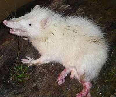 Landak berbulu atau tikus bulan