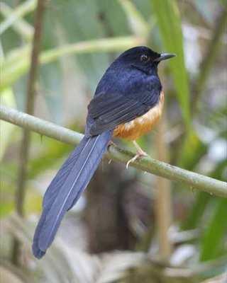 Burung Murai Batu atau Kucica Hutan