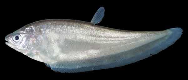 Ikan Belida atau Kapirat