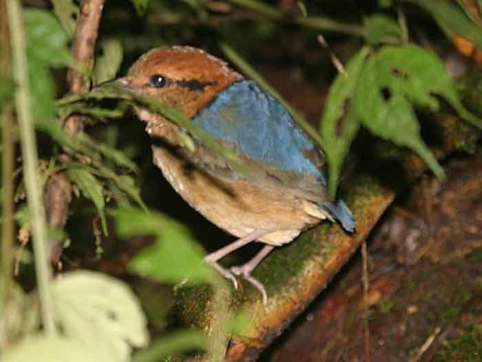 Gambar burung Paok Schneider