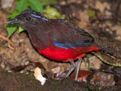 Gambar burung Paok Topi-hitam