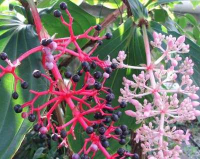Buah Parijoto (Medinilla speciosa)