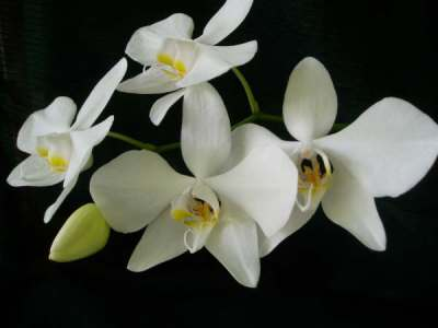 Phalaenopsis amabilis (Anggrek Bulan)