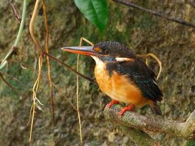 Burung Raja-uadang Kalung-biru betina