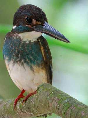 Burung Raja-uadang Kalung-biru jantan