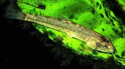 Ikan Selusur Maninjau
