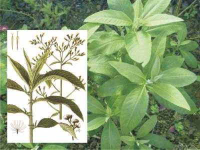 Sembung (Blumea balsamifera)