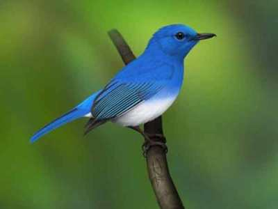 Burung Sikatan Aceh