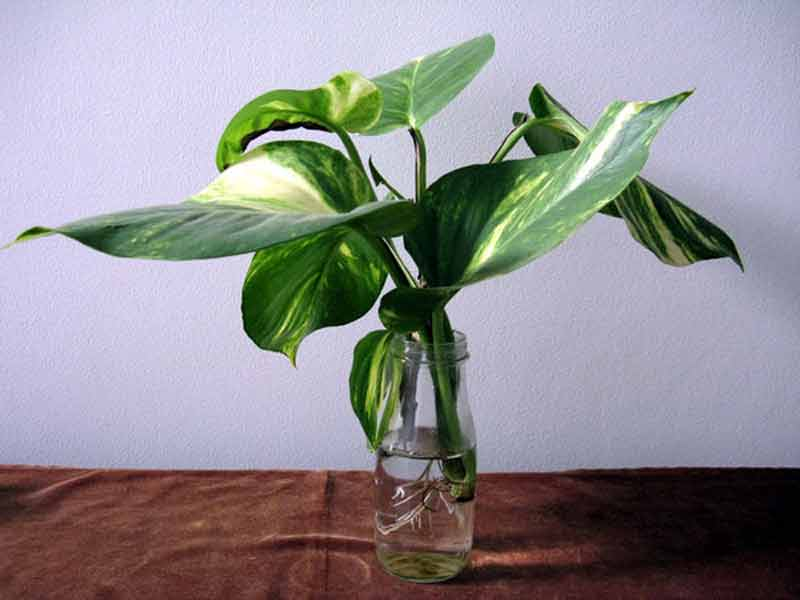Sirih gading atau devil's ivy (Epipremnum aureum)