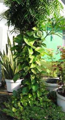 Sirih gading atau devil's ivy (Epipremnum aureum) ditanam di luar ruangan
